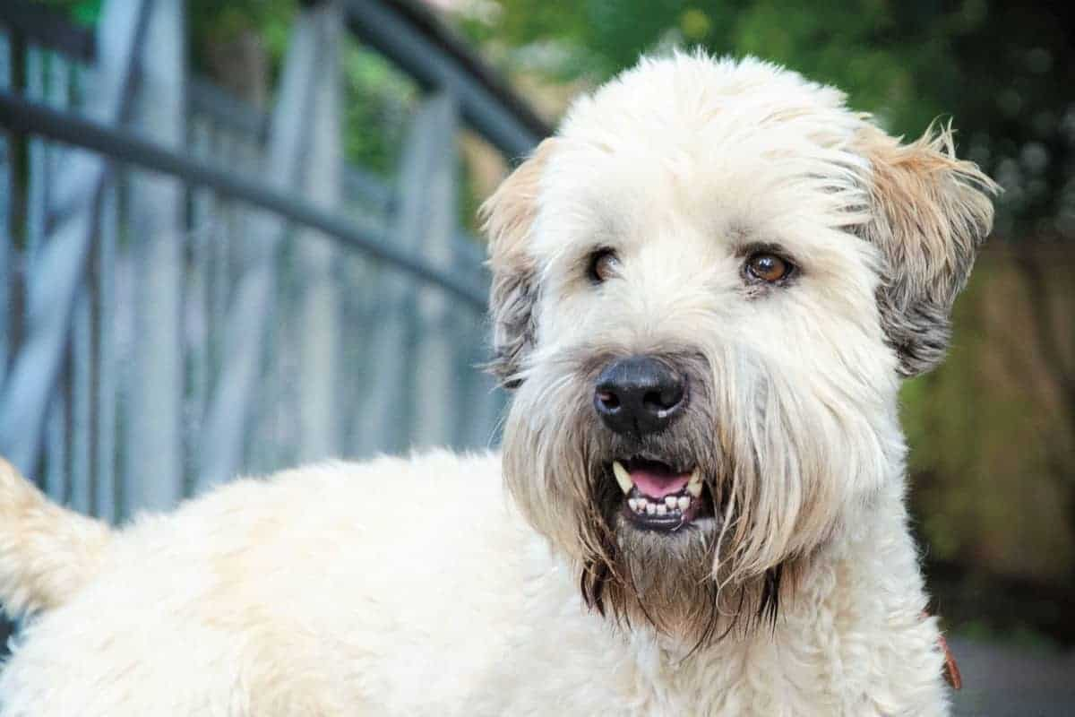 Soft Coated Wheaten Terrier close up
