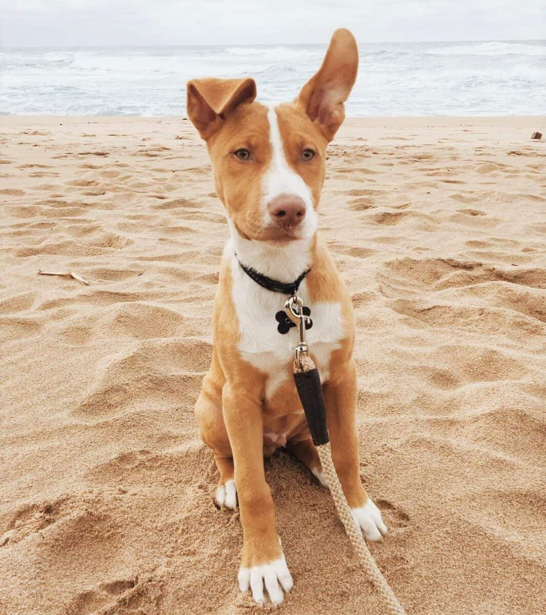 Tan Pitbull on the beach