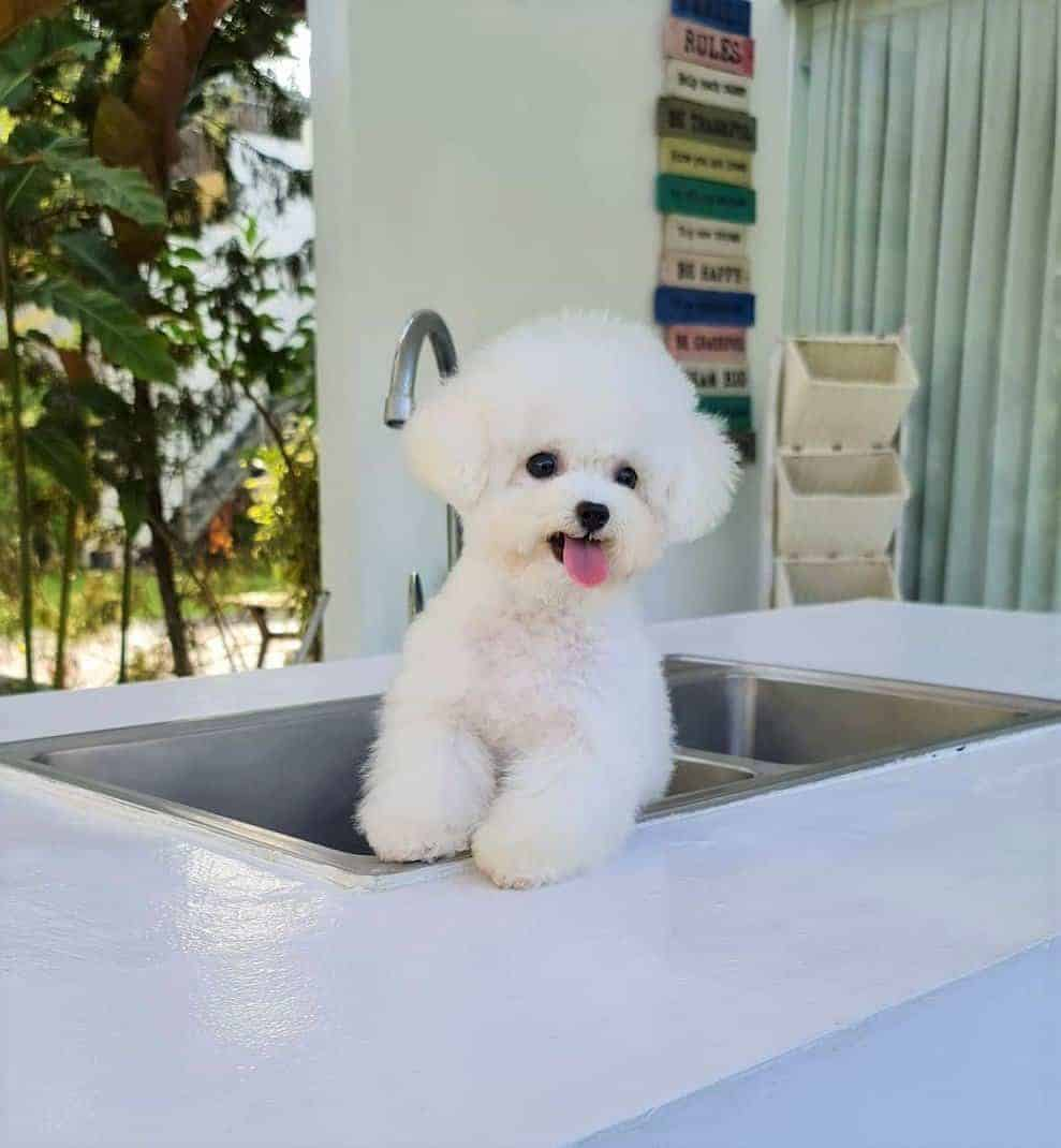 White teacup Bichon Frise in sink