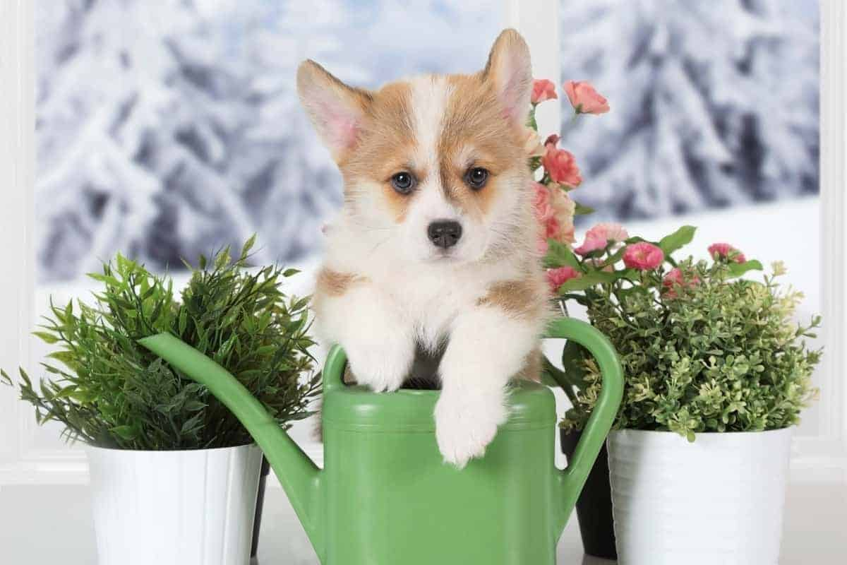 Everything You Need To Know About The Teacup Corgi