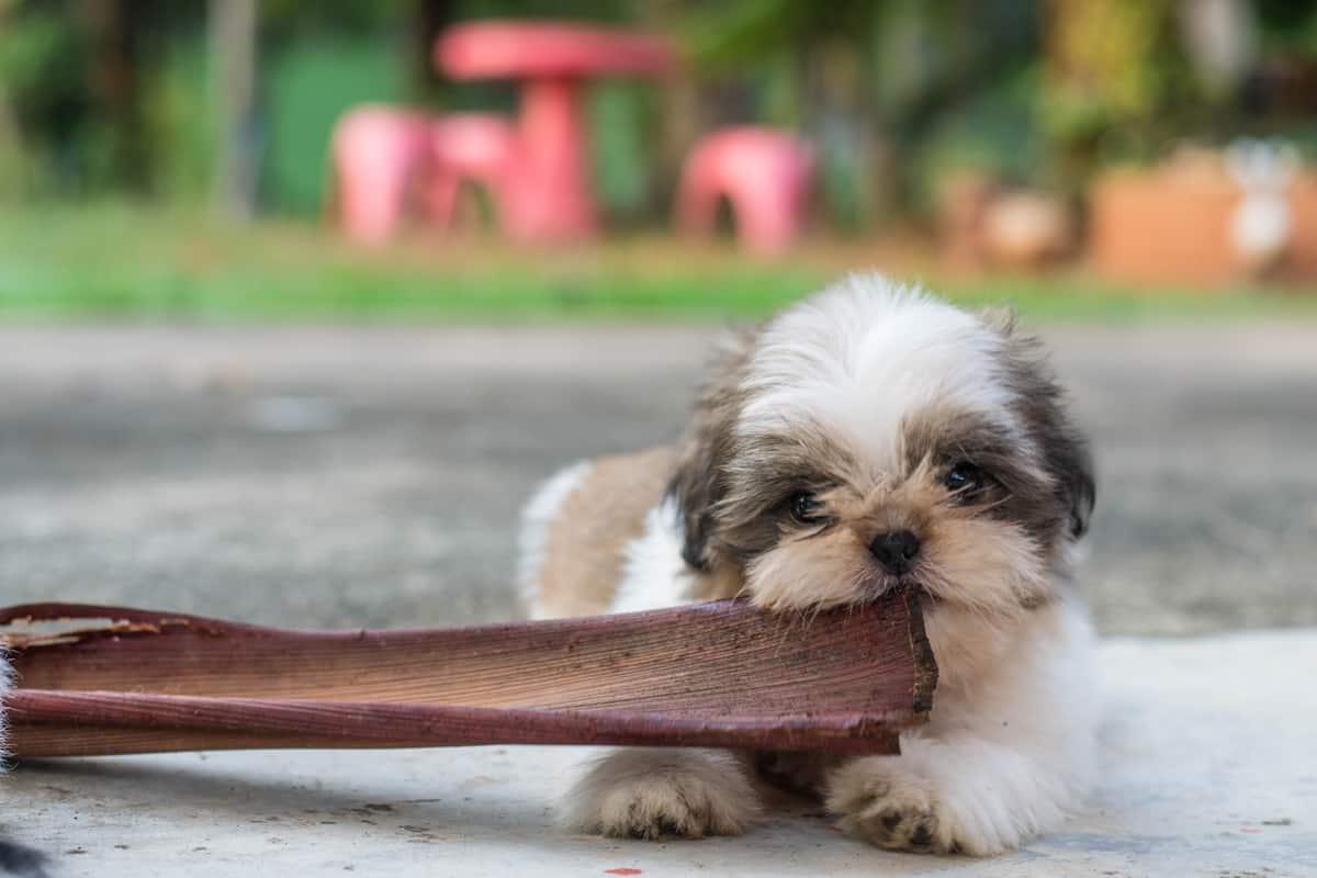 Teacup Shih Tzu puppy biting