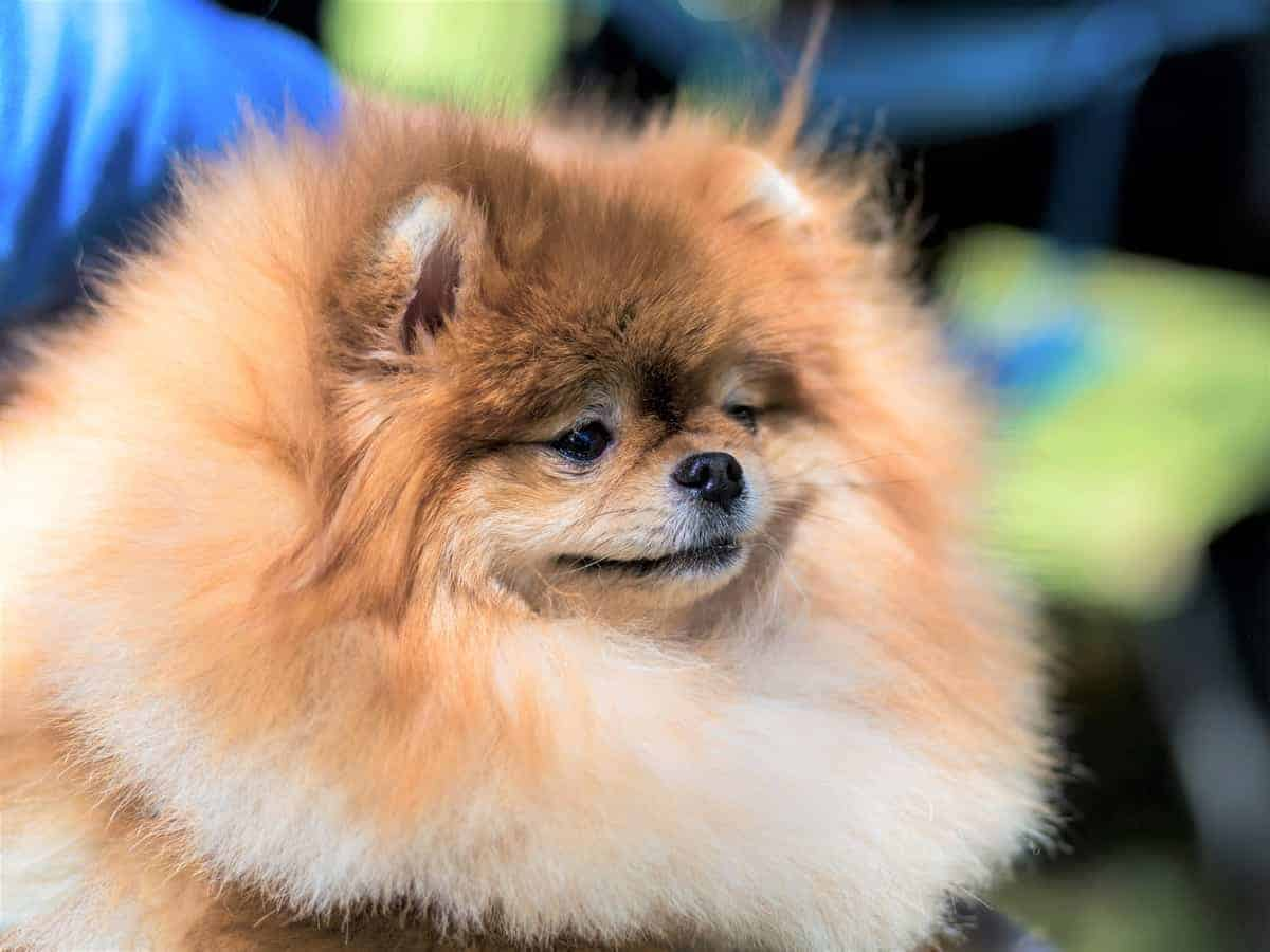 Teddy bear face Pomeranian