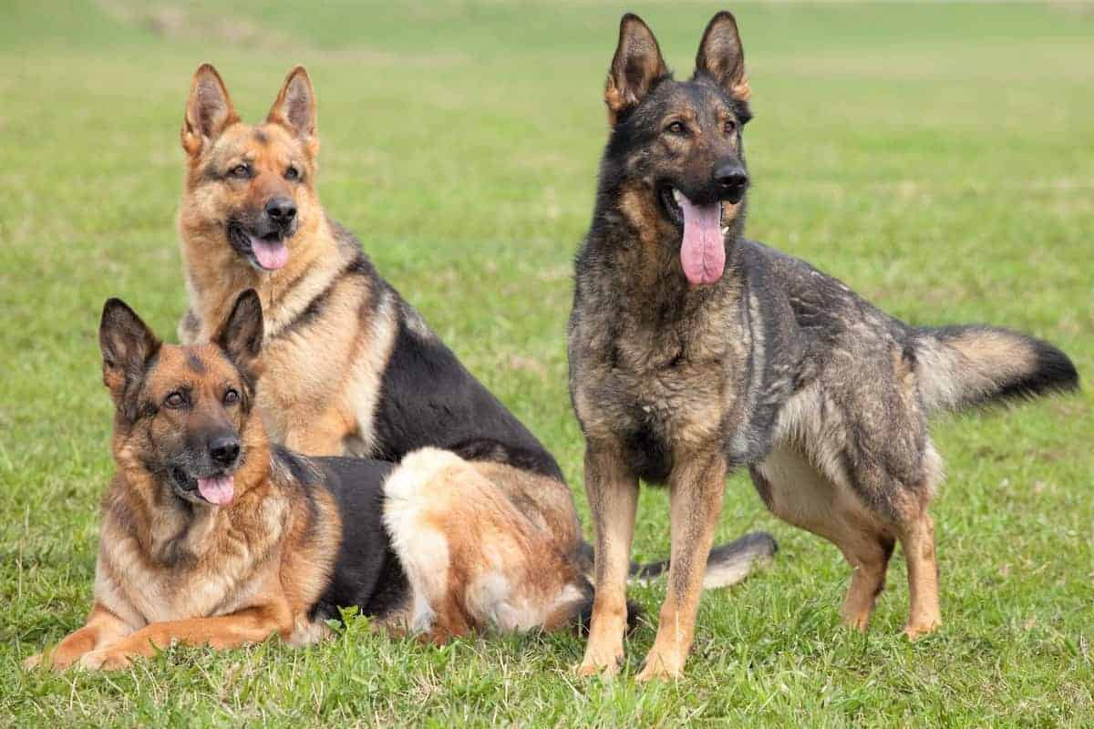 Three German Shepherds with different coat patterns