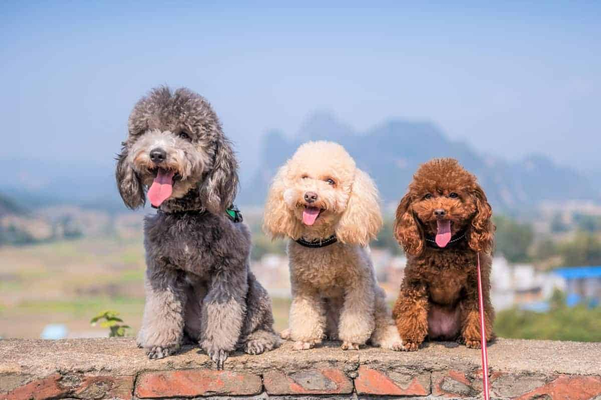 Three Poodles sitting side-by-side