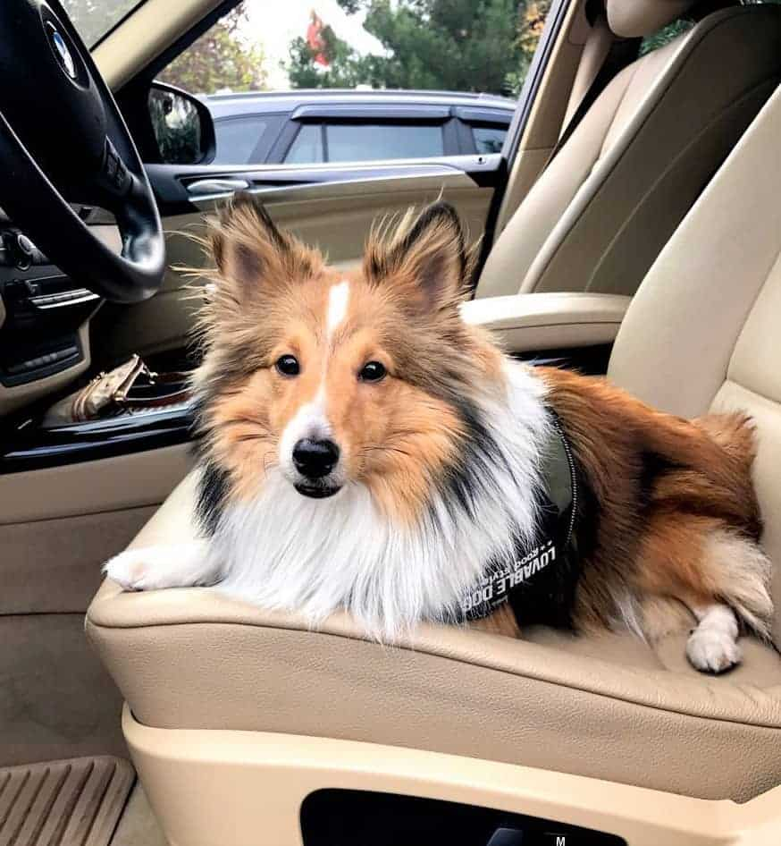 Tricolor Miniature Collie sitting in a car