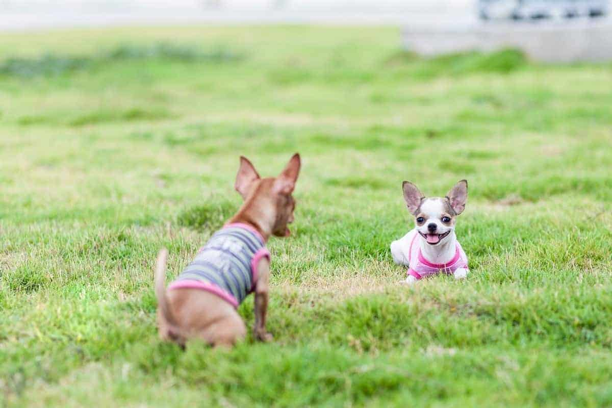 Two Chihuahuas playing outdoor