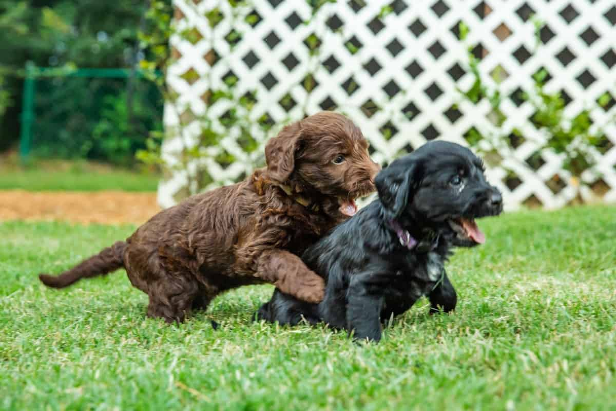 Two Labradoodle puppies, one black and one brown, chasing each other
