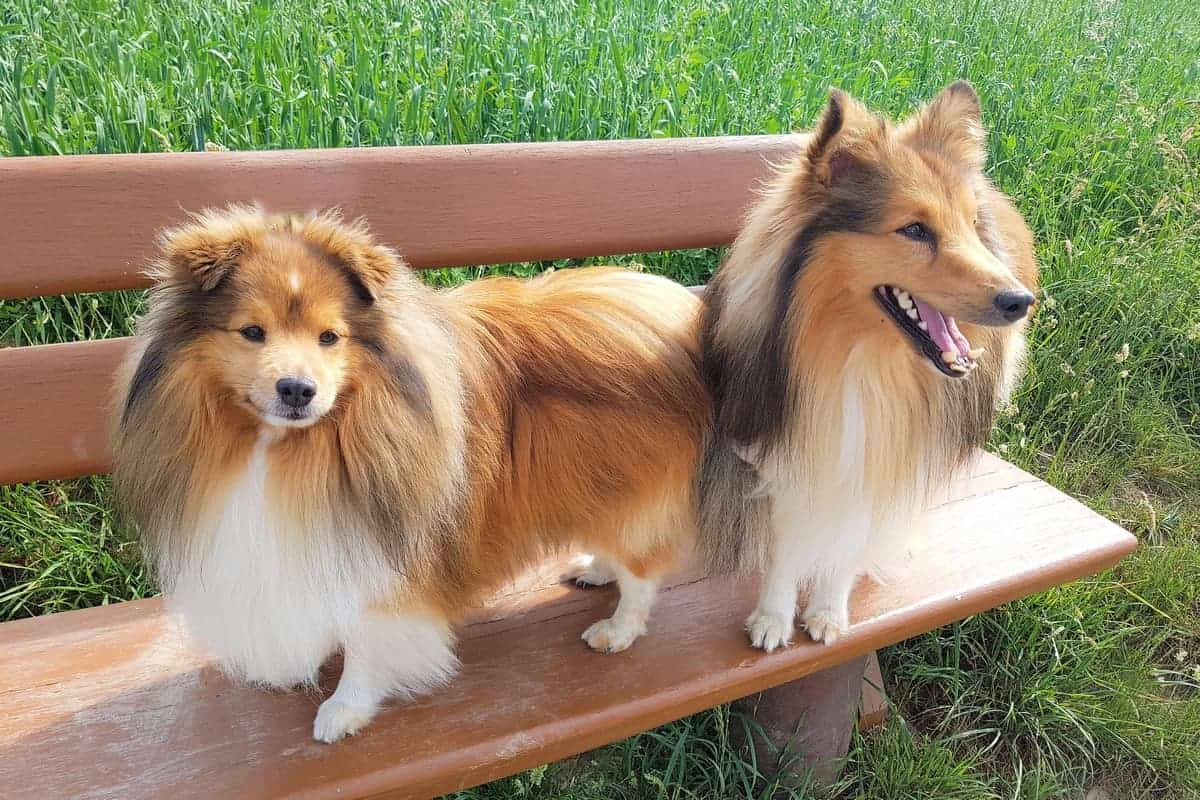 Two Miniature Collies standing on a bench