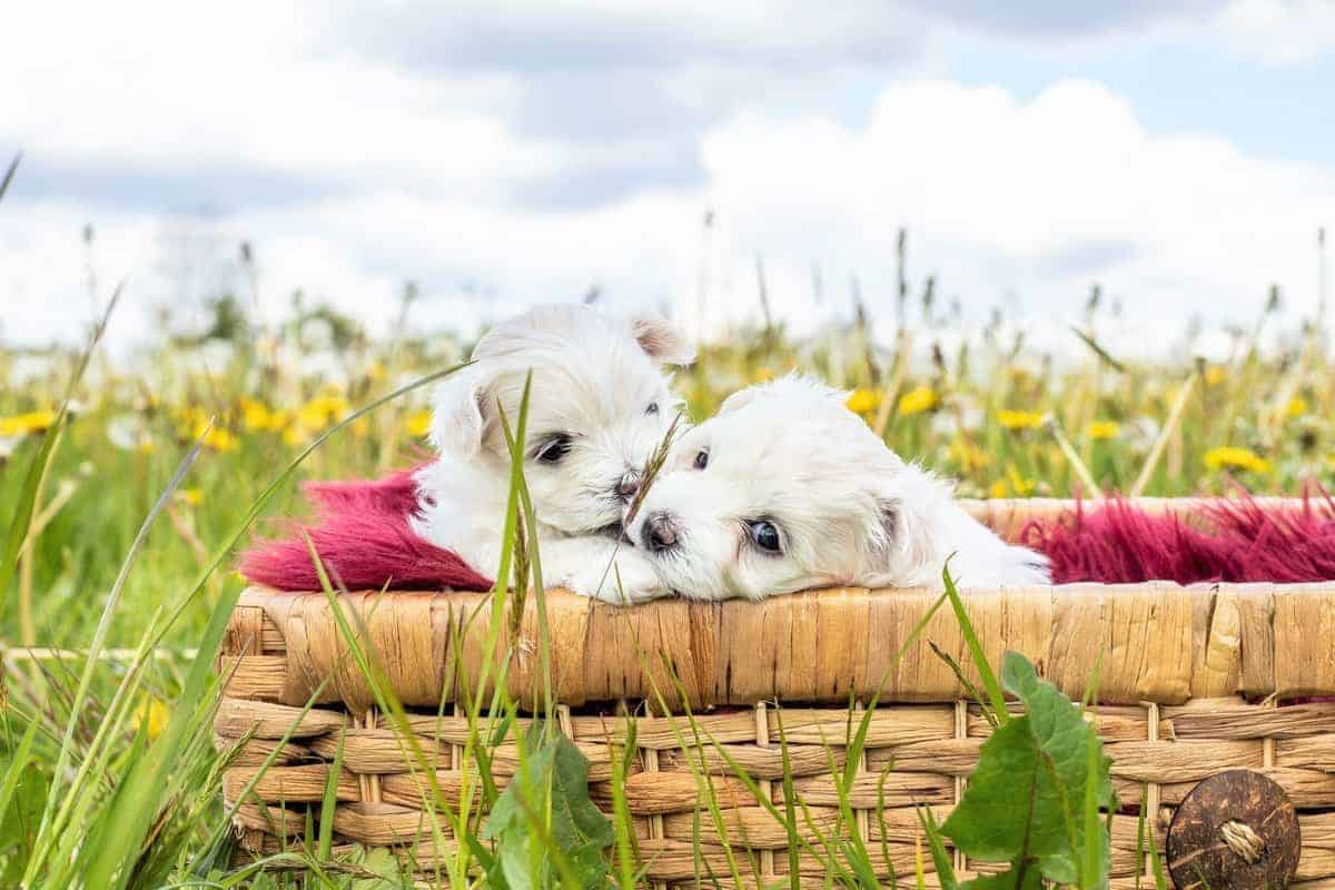 Two teacup Bichon Frise puppies in a basket