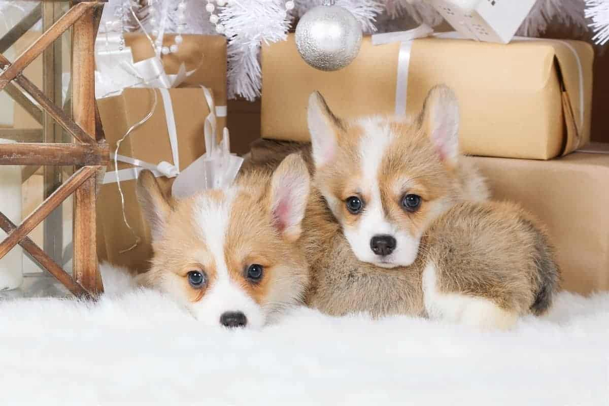 Two teacup Corgi puppies for sale