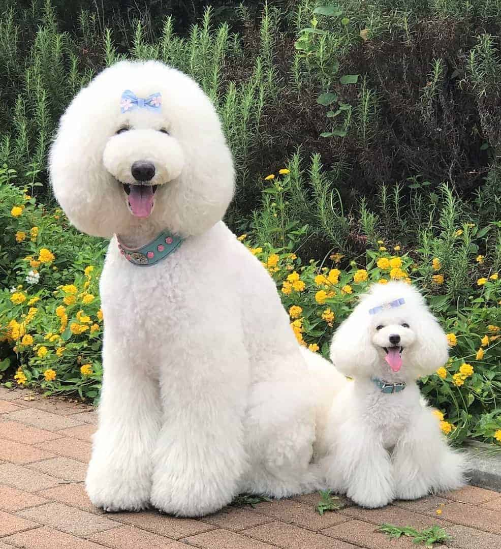White Toy and Standard Poodle