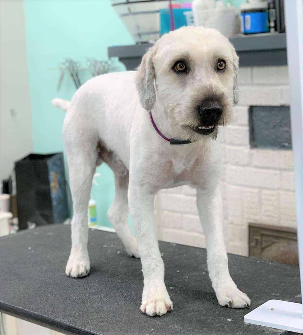 White Woodle at dog grooming salon