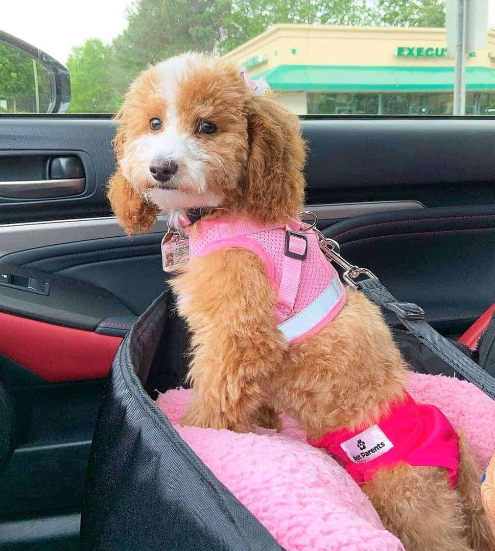 White and Apricot Parti Poodle