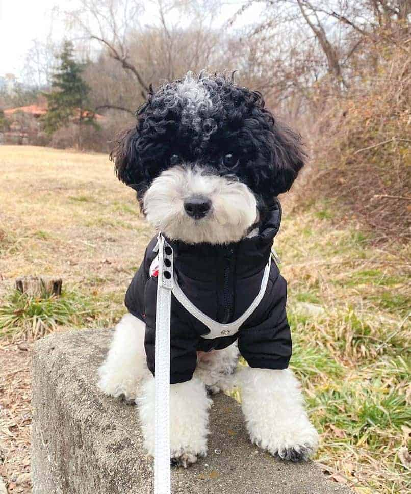 White and Black Toy Parti Poodle