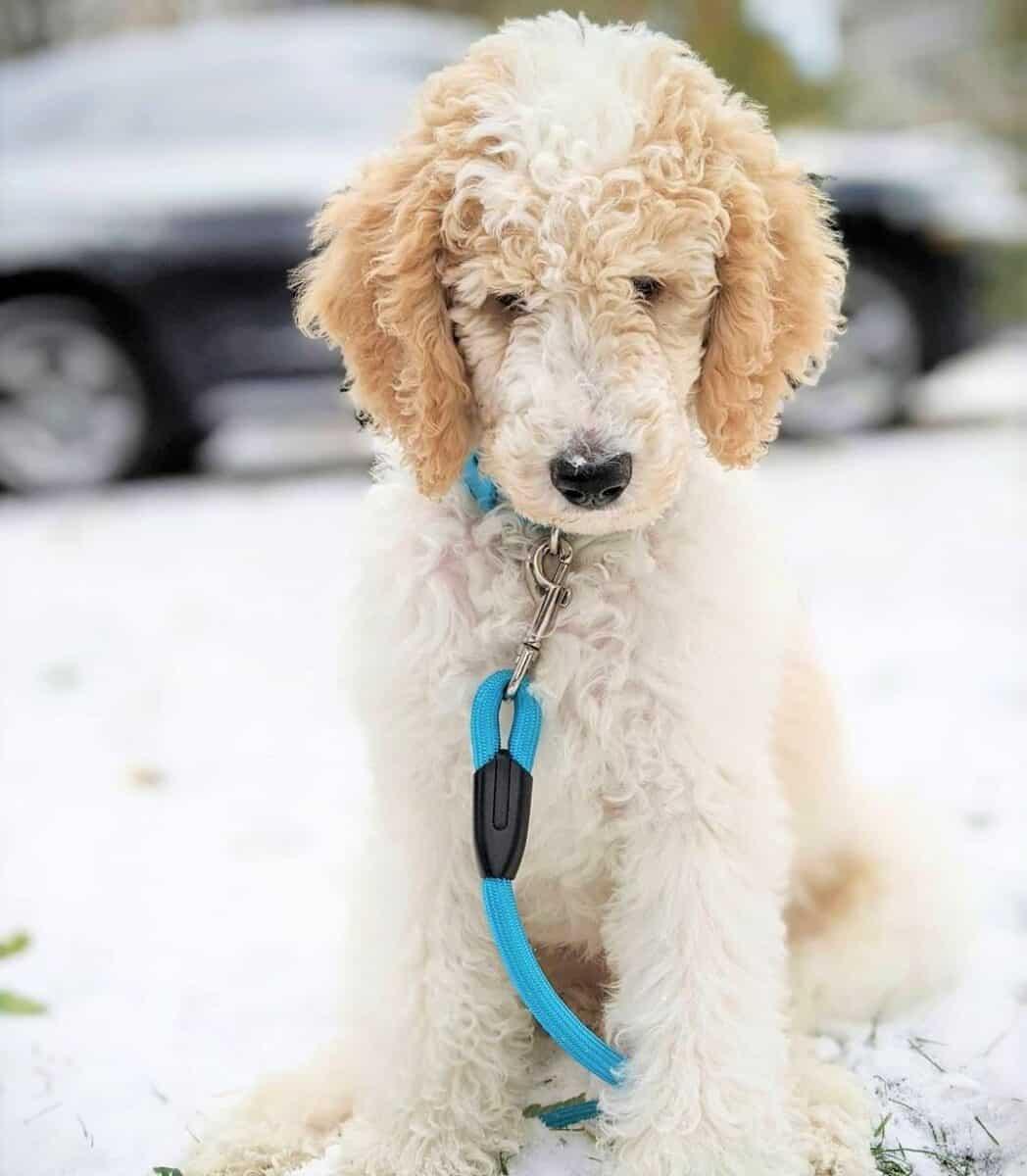 White and Cream Parti Poodle in winter