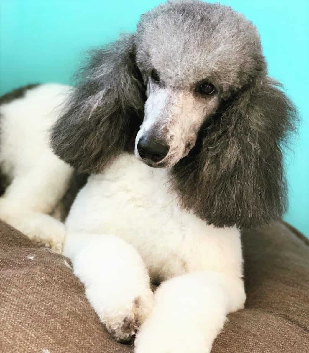 White and Silver Poodle