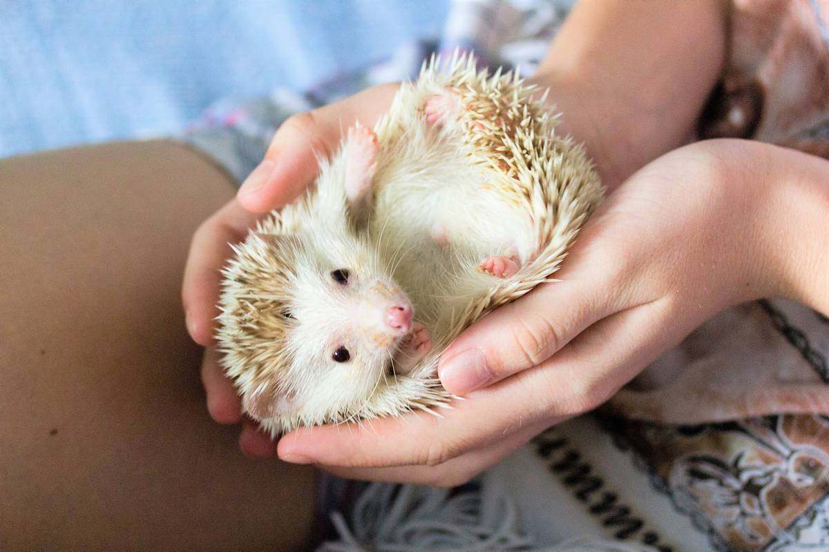 African pygmy hedgehog in the hands of a girl