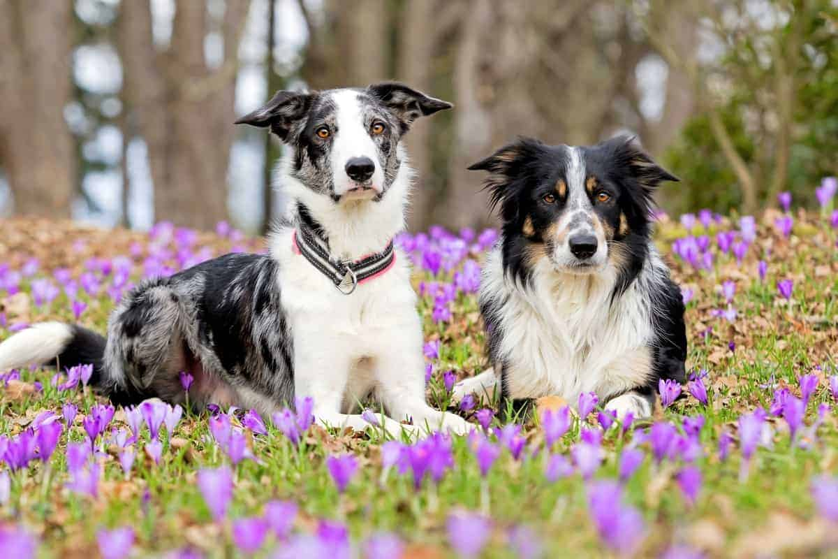 All Border Collie coat colors explained