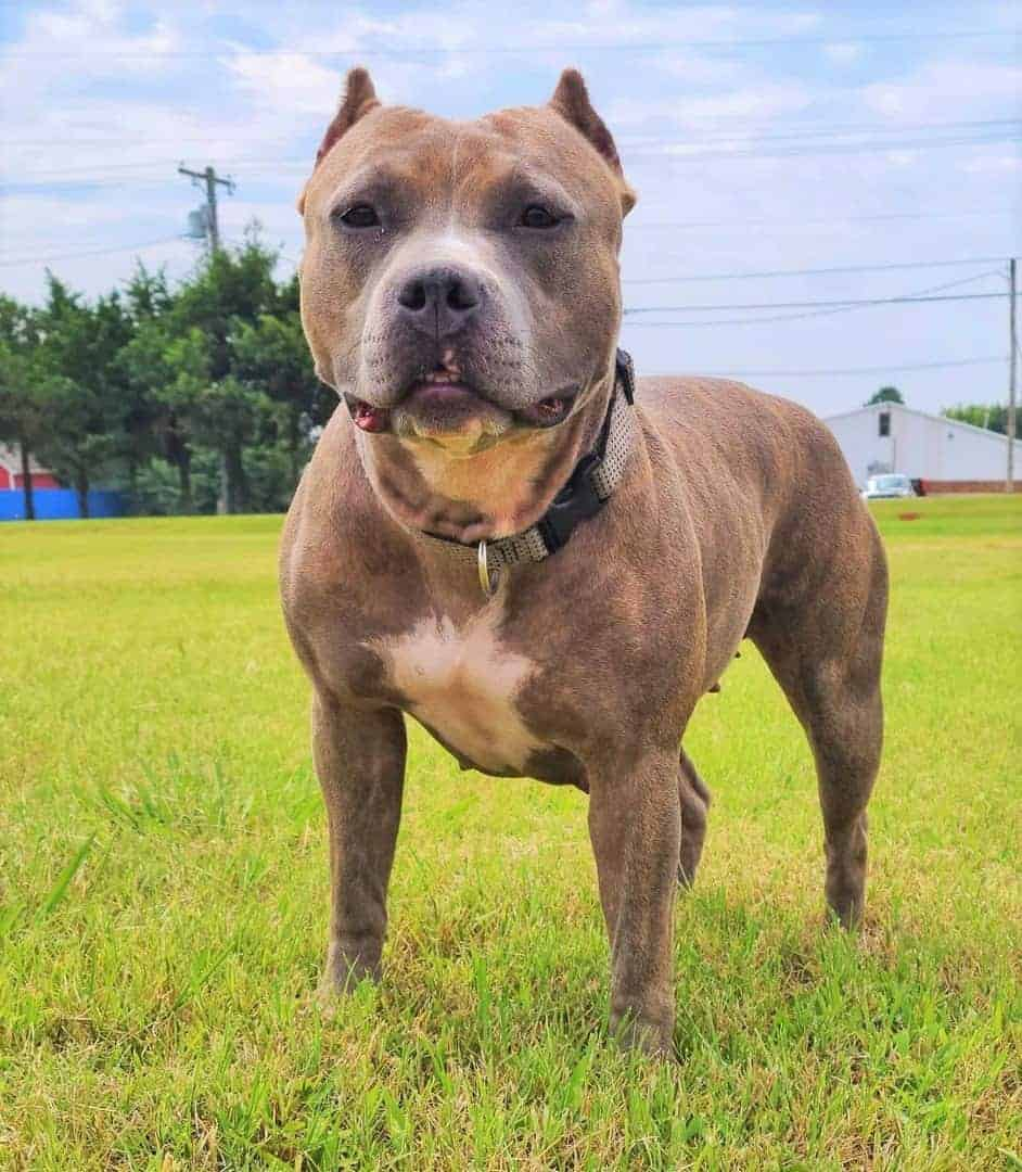 American Bully with short crop ears