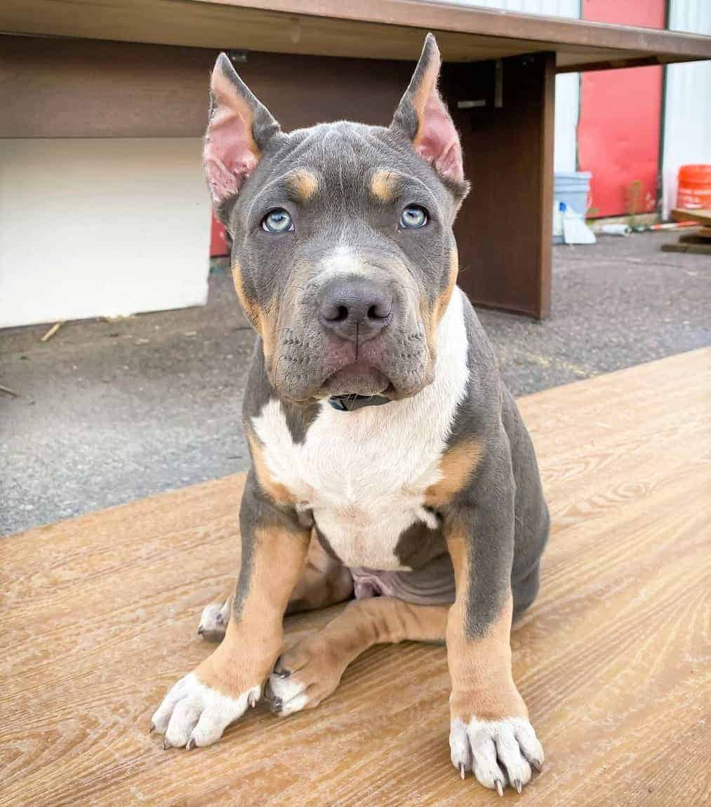 American Bully with show crop ears