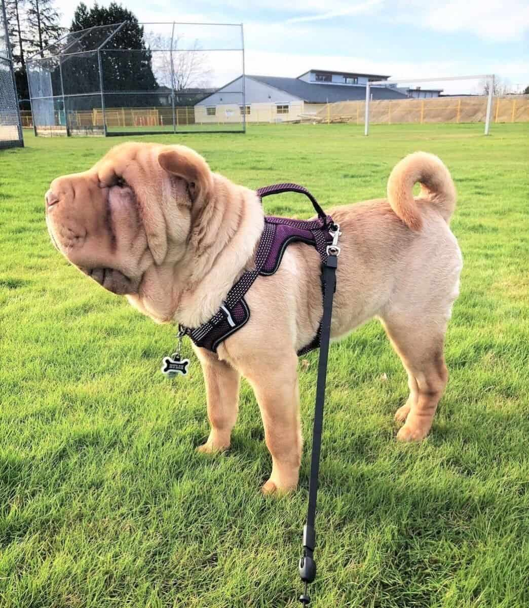 Apricot Dilute Shar-Pei
