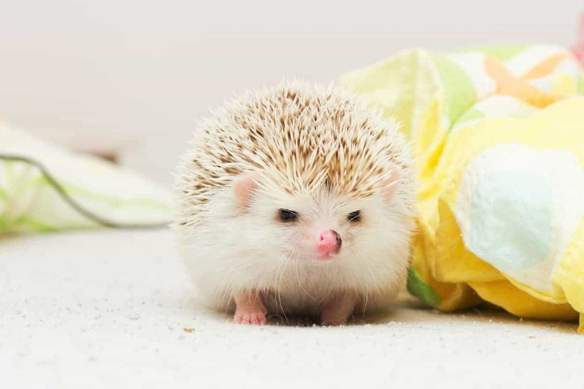 Baby hedgehog prices and expenses breakdown