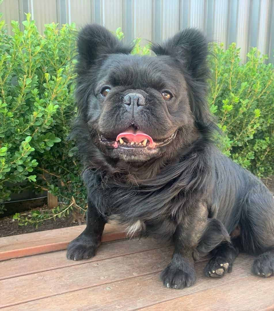 Black Fluffy Frenchie (Black Long-Haired French Bulldog)