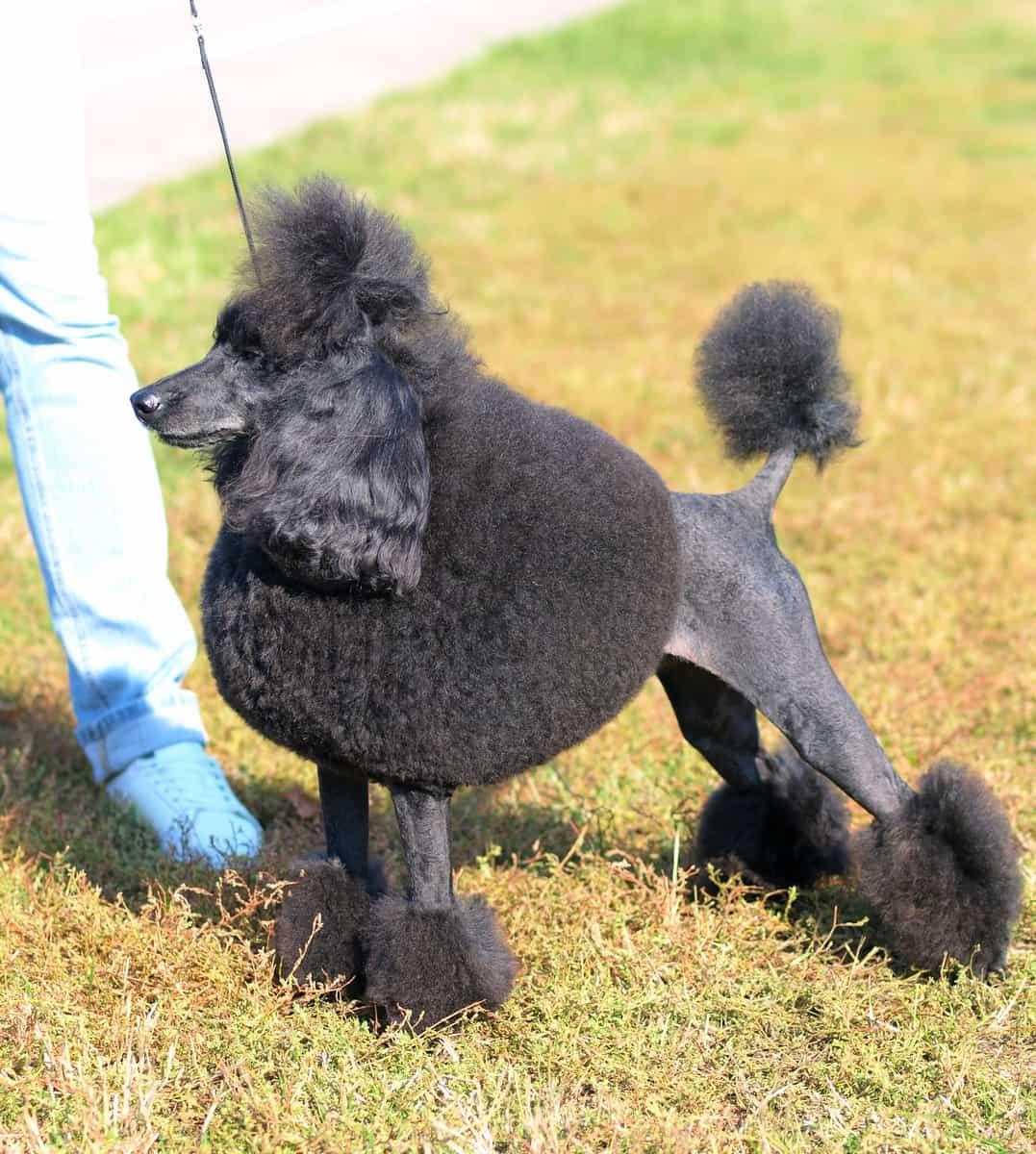 Black Moyen (Klein) Poodle