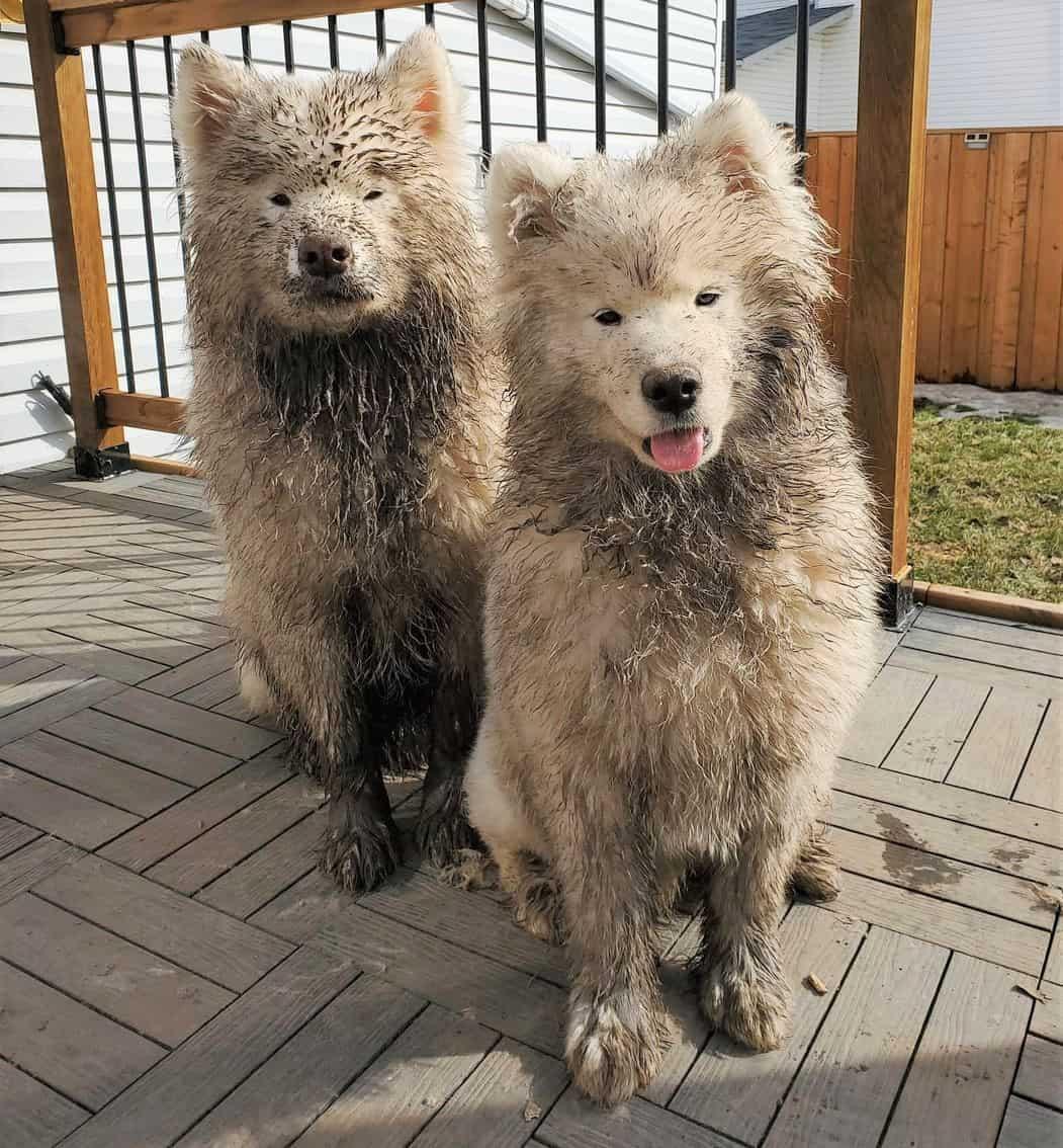 Black Samoyeds with mud