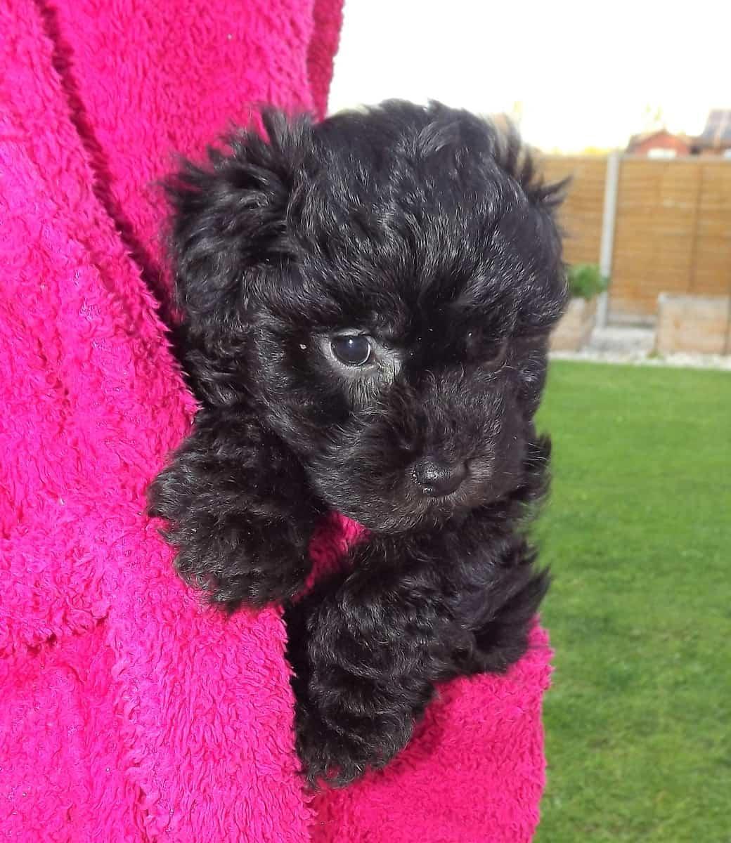 Black Teacup Poodle puppy