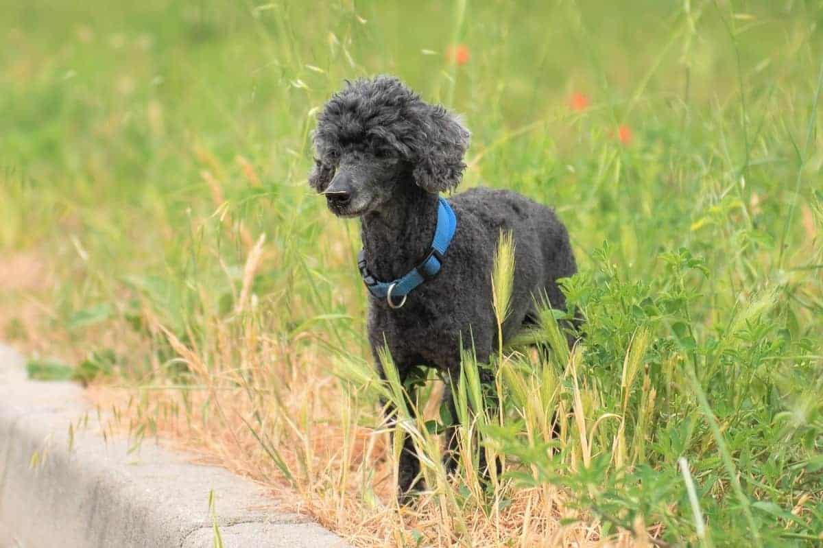 Black toy Poodle lost in a deserted street