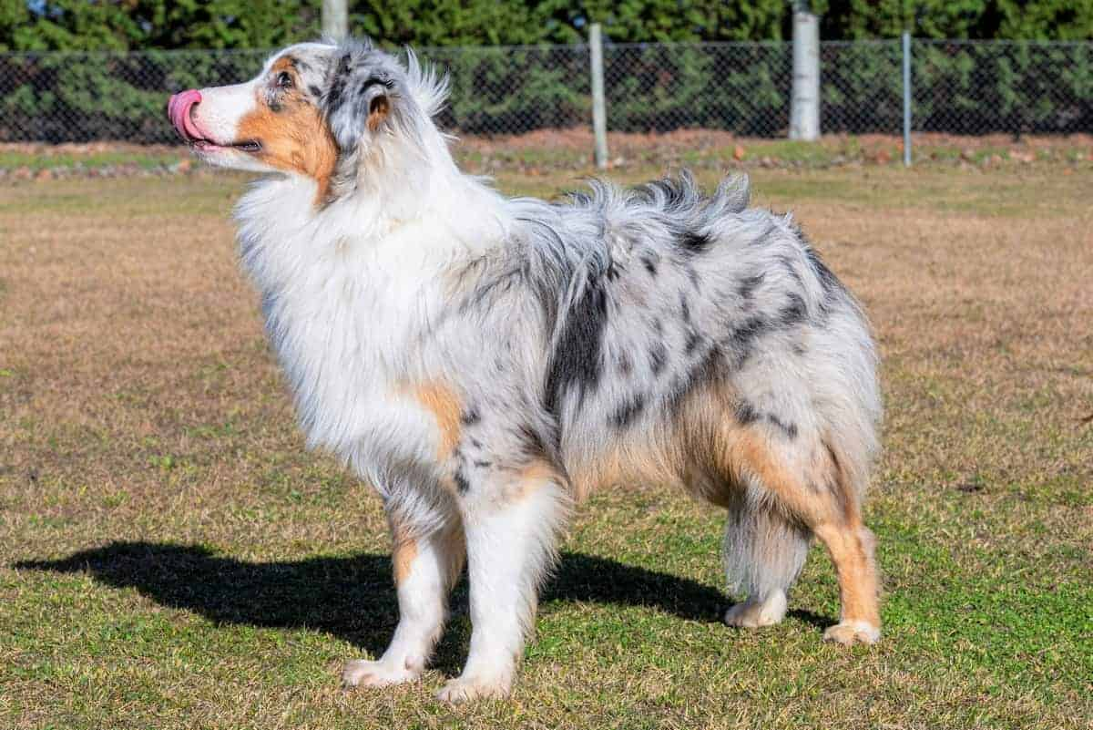 Blue merle Australian Shepherd with green grass and tonga
