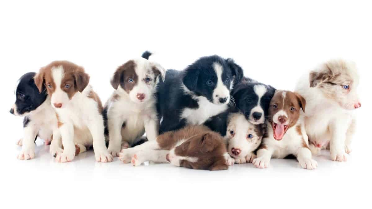 Border Collies puppies with different coat colors