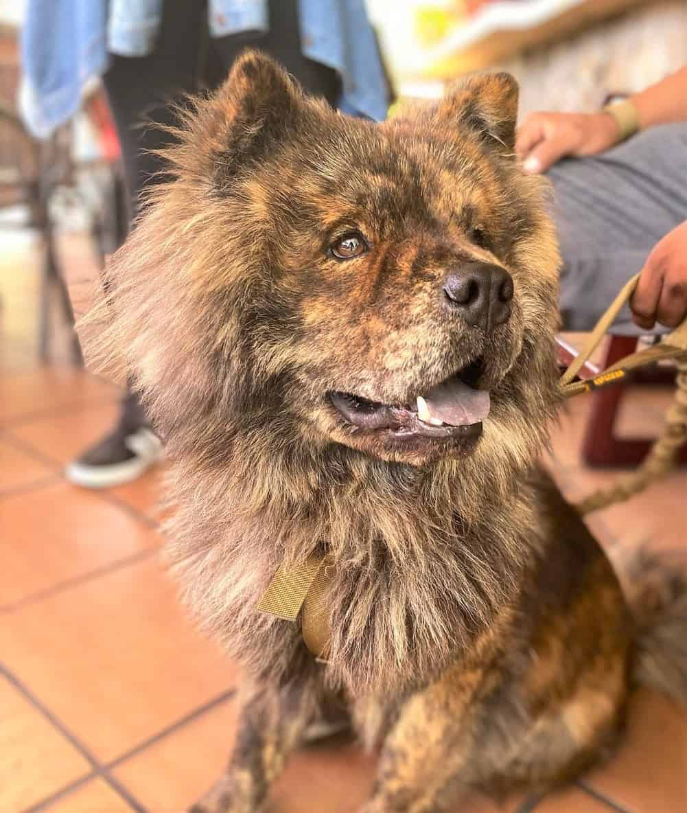 Brindle Chow Chow