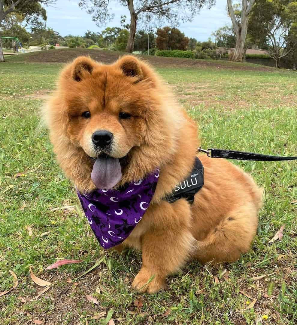 Chow Chow with a solid blue-black tongue