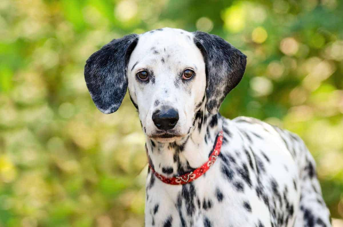 Dalmatian with dark brown eyes and a black nose