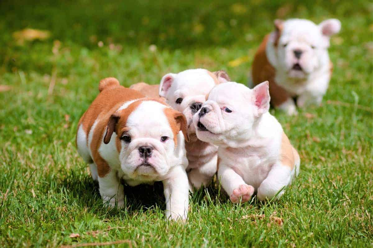 English Bulldog puppies running outdoors