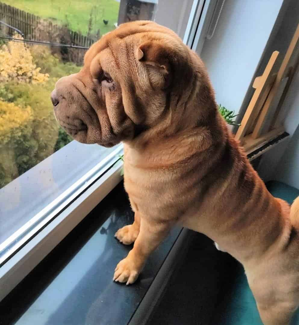 Five Point Red Dilute Shar-Pei