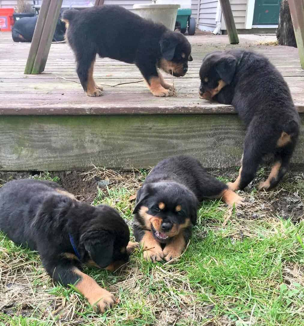 Four Rottweiler puppies with docked tails