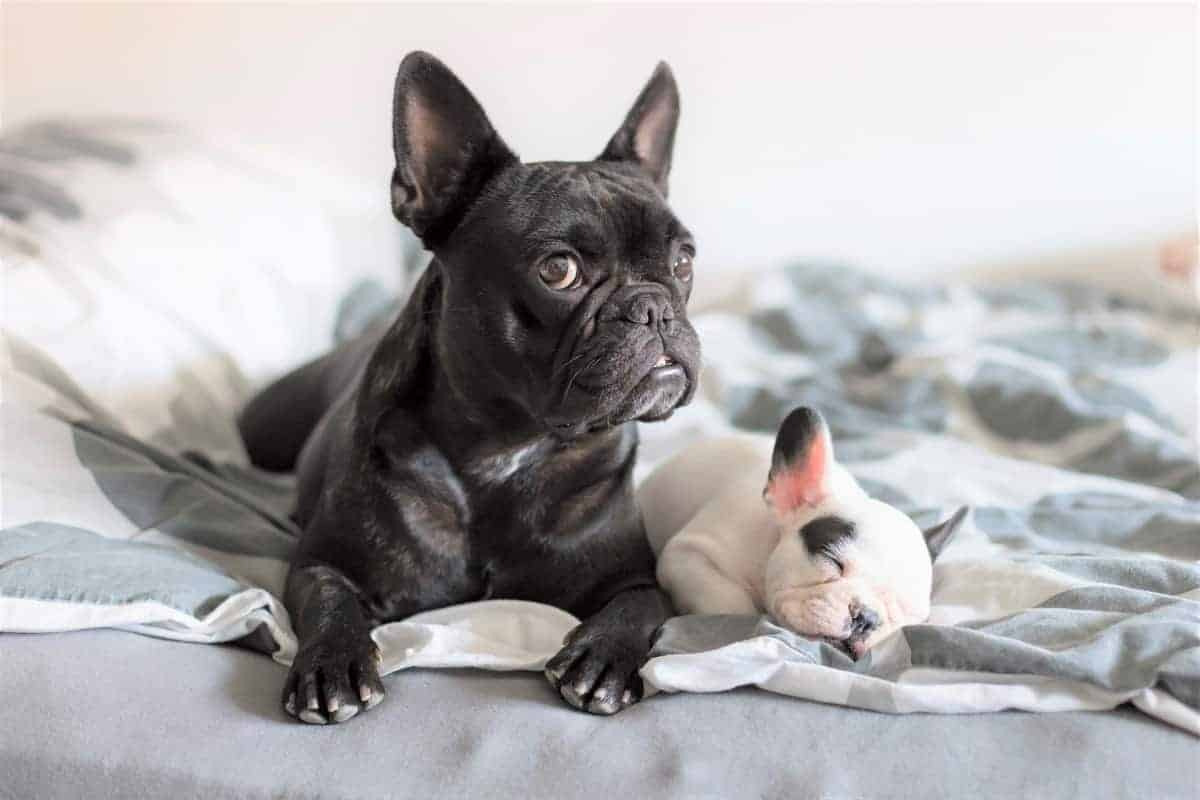 French Bulldog puppies for sale (price and expenses)