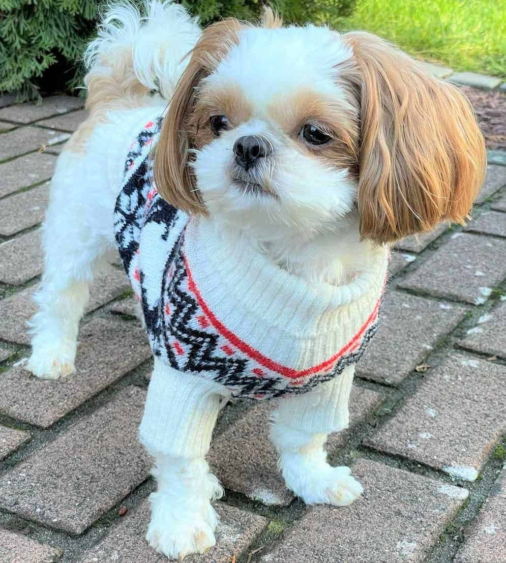 Gold and white Imperial Shih Tzu