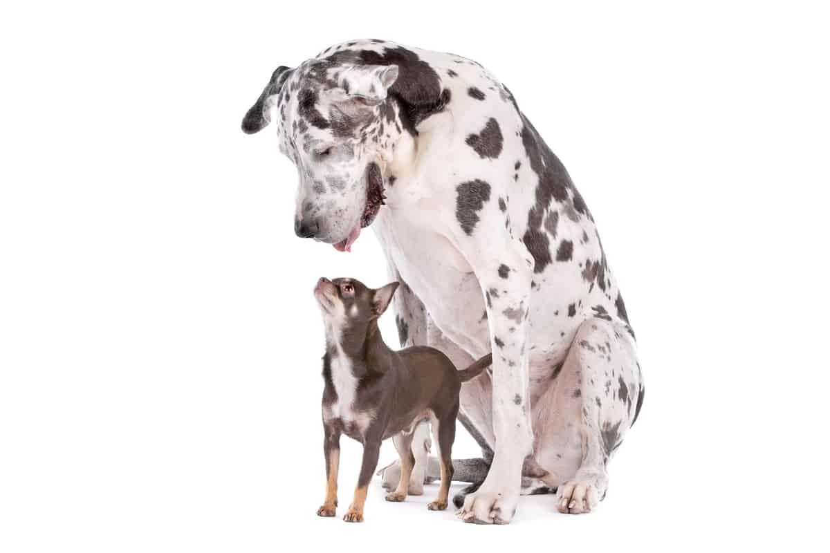 Great Dane Chihuahua Mix (Chi-Dane-Dane)