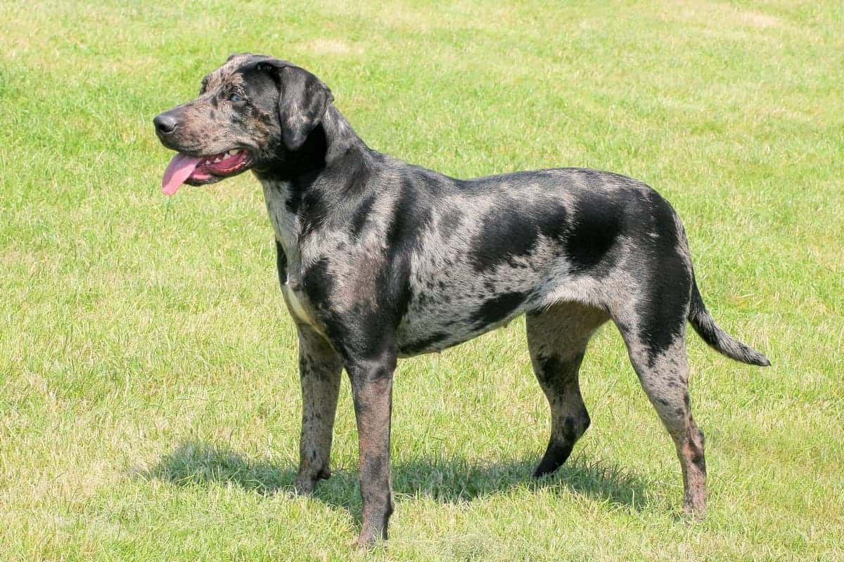 Great Dane Chihuahua mix similar dog breed-Catahoula Leopard Dog