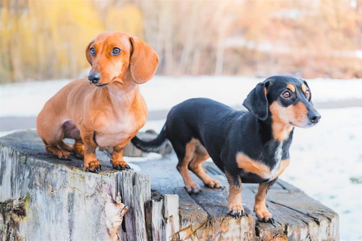 Great Dane Chihuahua mix similar dog breed-Dachshund