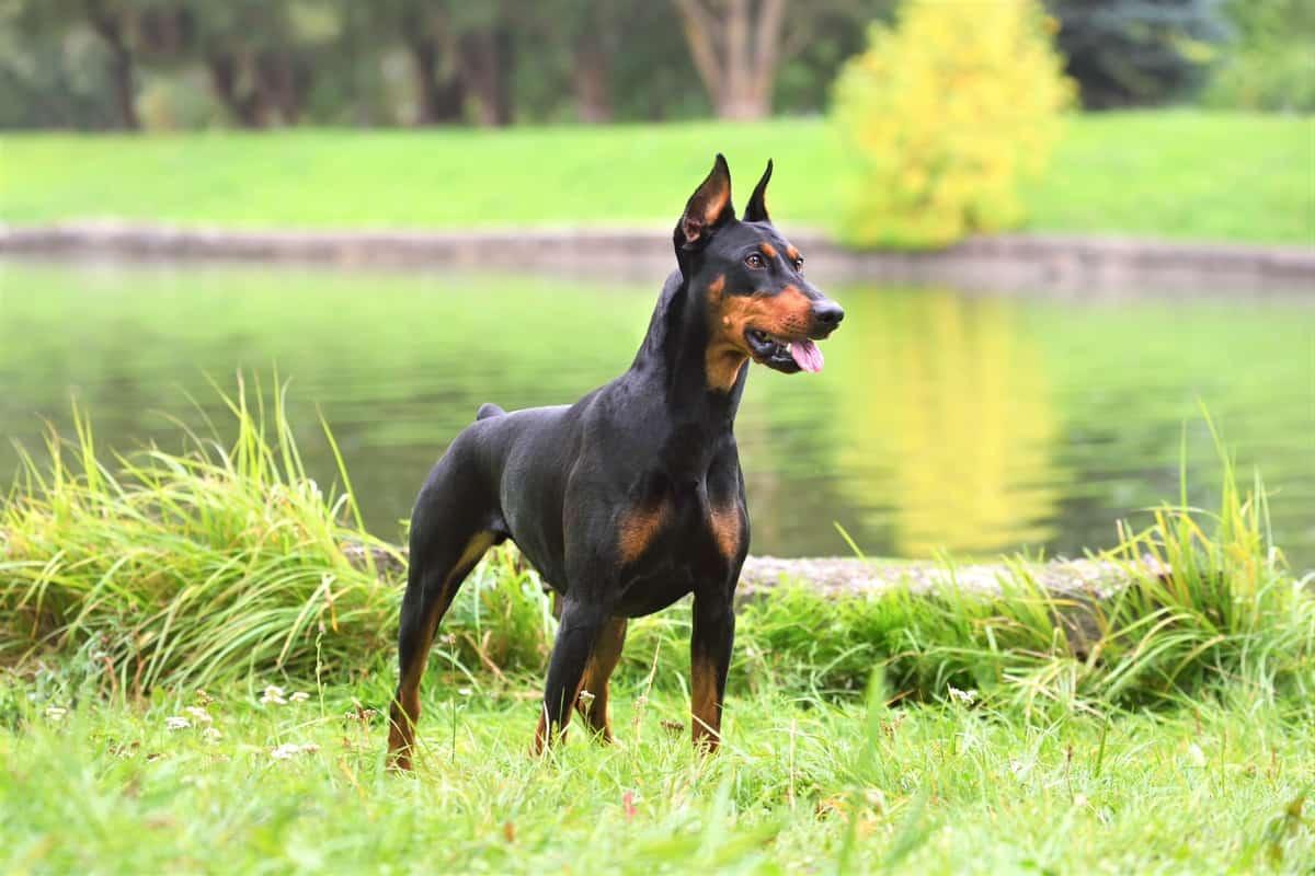 Great Dane Chihuahua mix similar dog breed-German Pinscher