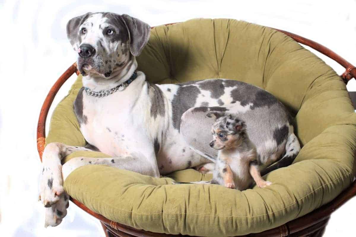 Great Dane and Chihuahua on chair