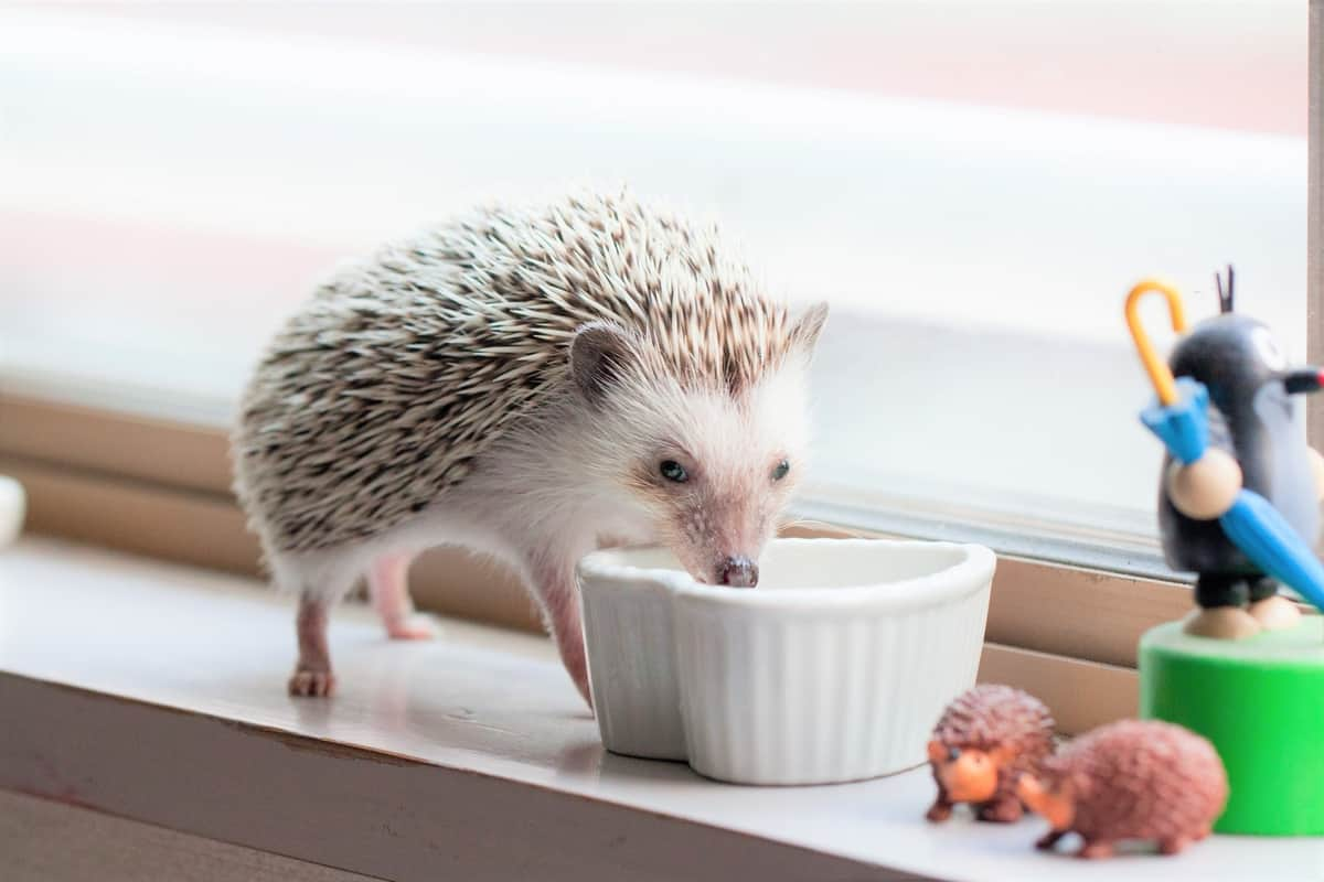 Hedgehog eating at the window