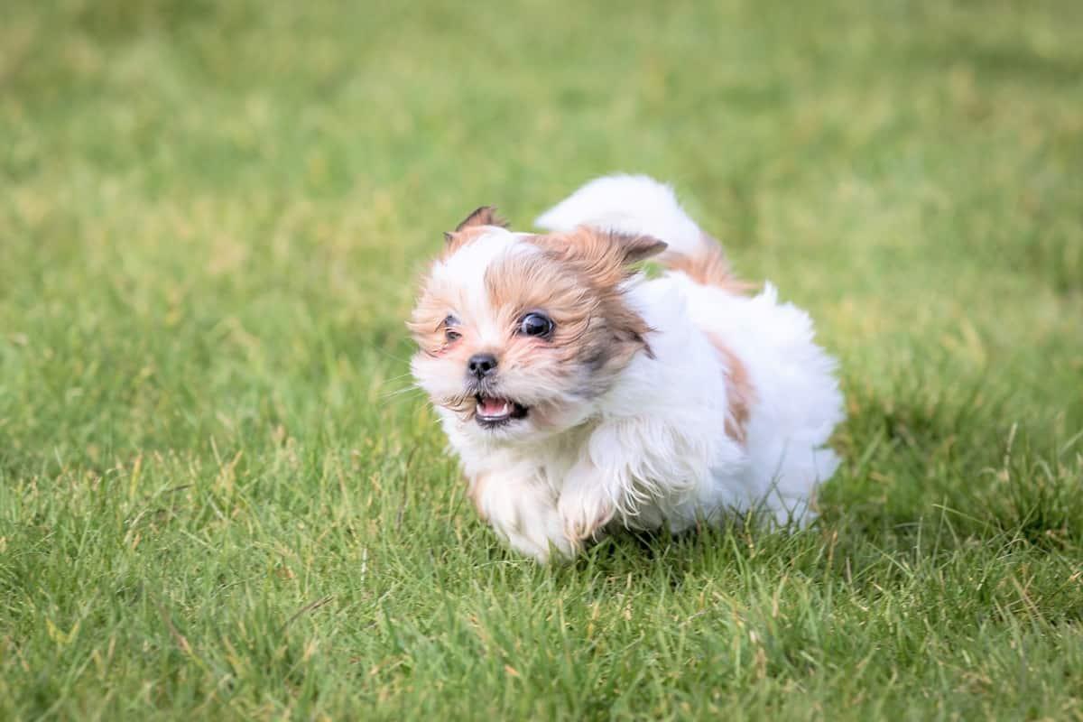 Imperial Shih Tzu puppy running