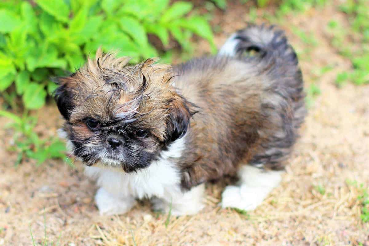 Imperial Shih Tzu puppy with wet body
