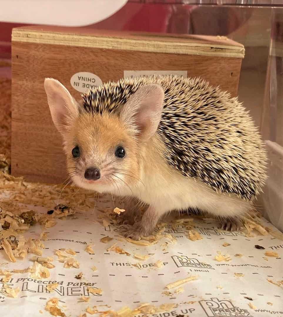 Long-Eared Hedgehog price